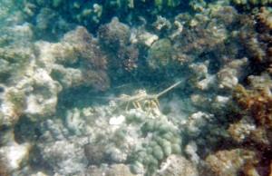 lobster under water
