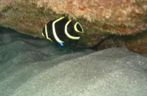 piton fish